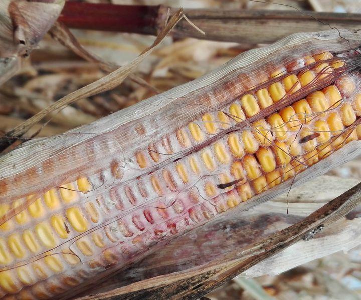 A kukorica fuzáriumos csőpenész veszélyei, a védekezés lehetőségei