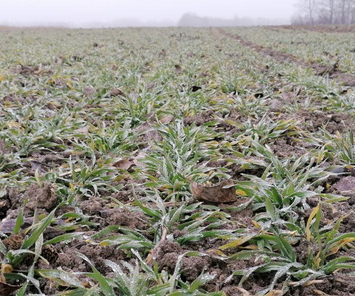 Kalászos gabonáink téli felvételezése