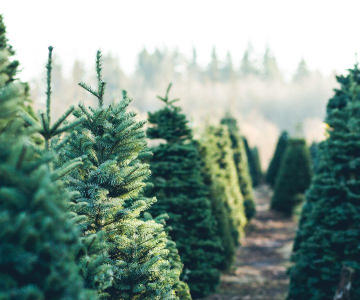 Karácsonyfatermesztés, fafajok
