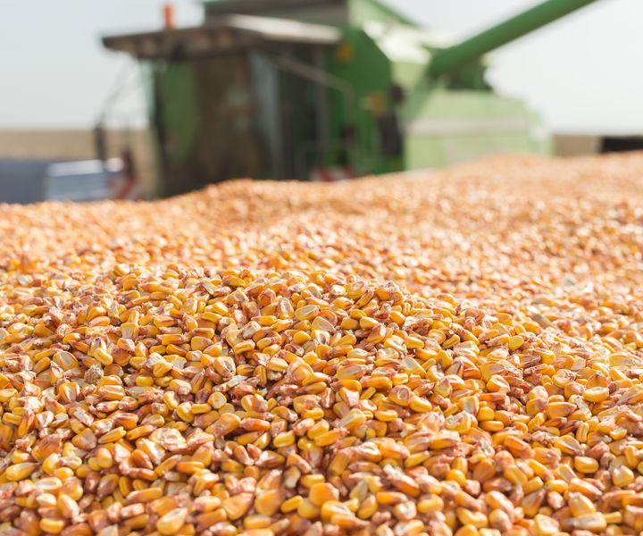 EU-becslés: a magyar kukoricatermés messze túlszárnyalja az 5 éves átlagot