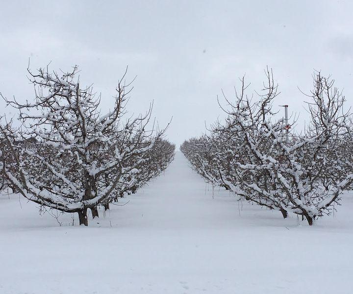 Gyümölcsfák téli ápolása