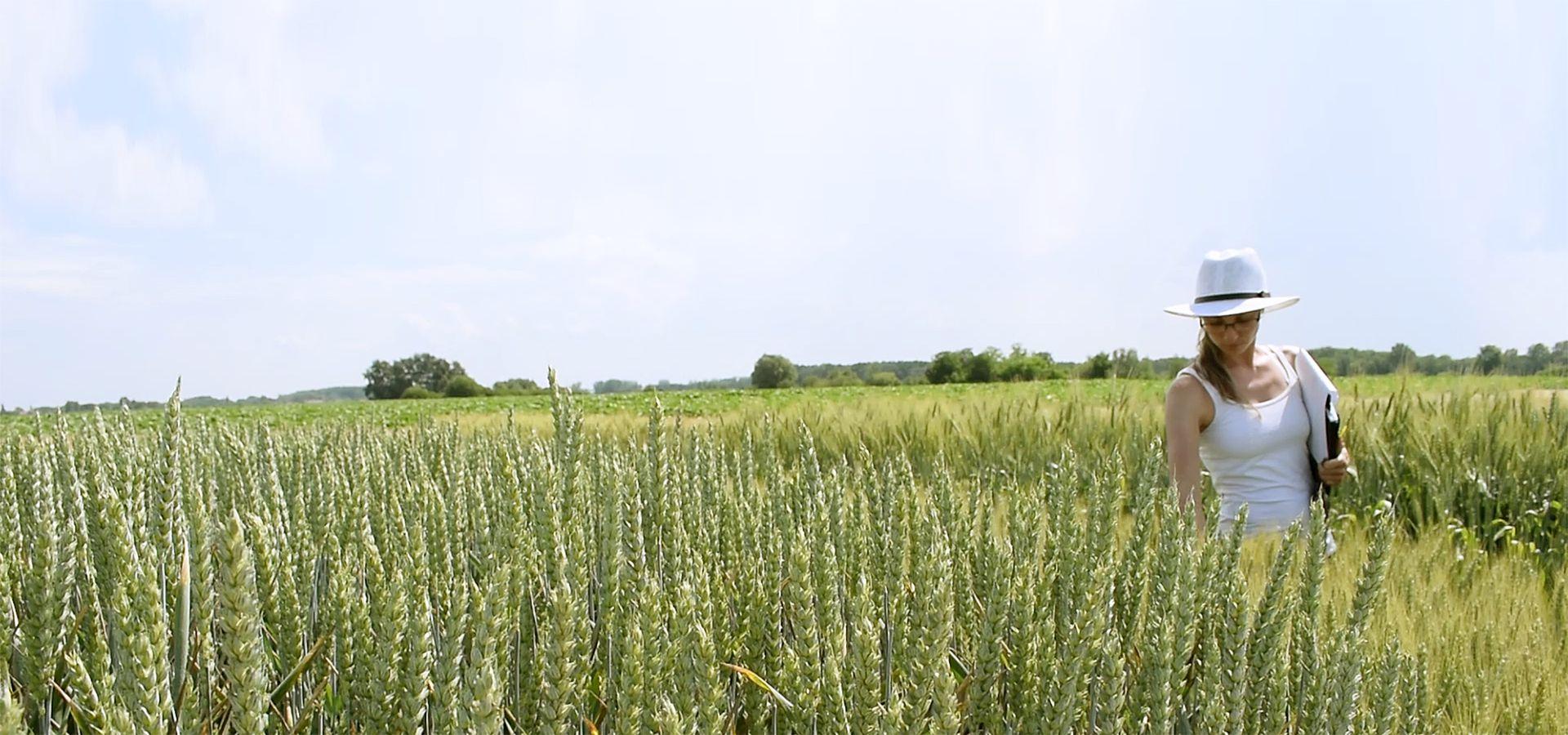 Őszi búza nitrogéntrágyázási kísérletek eredményei 2019. II.