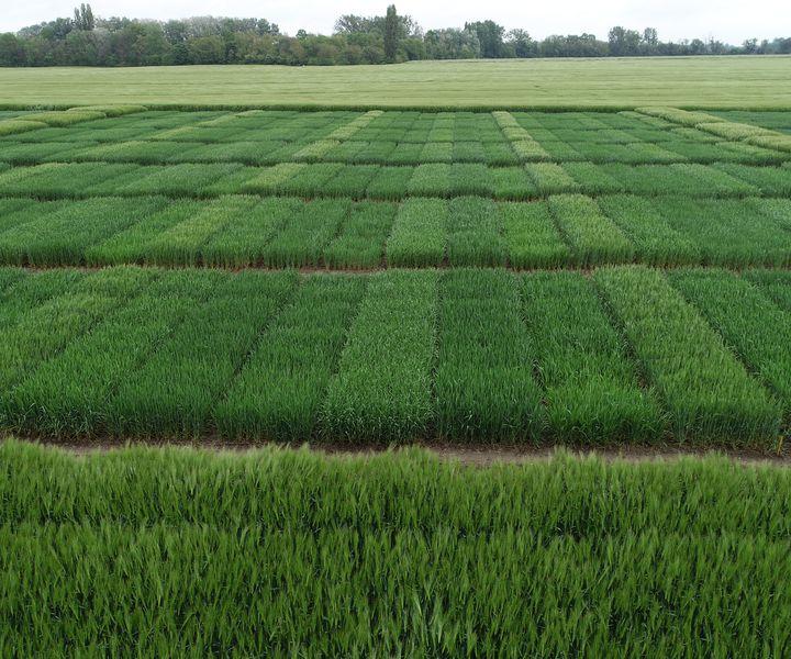 Őszi búza nitrogéntrágyázási kísérletek első eredményei, 2019 (I.)