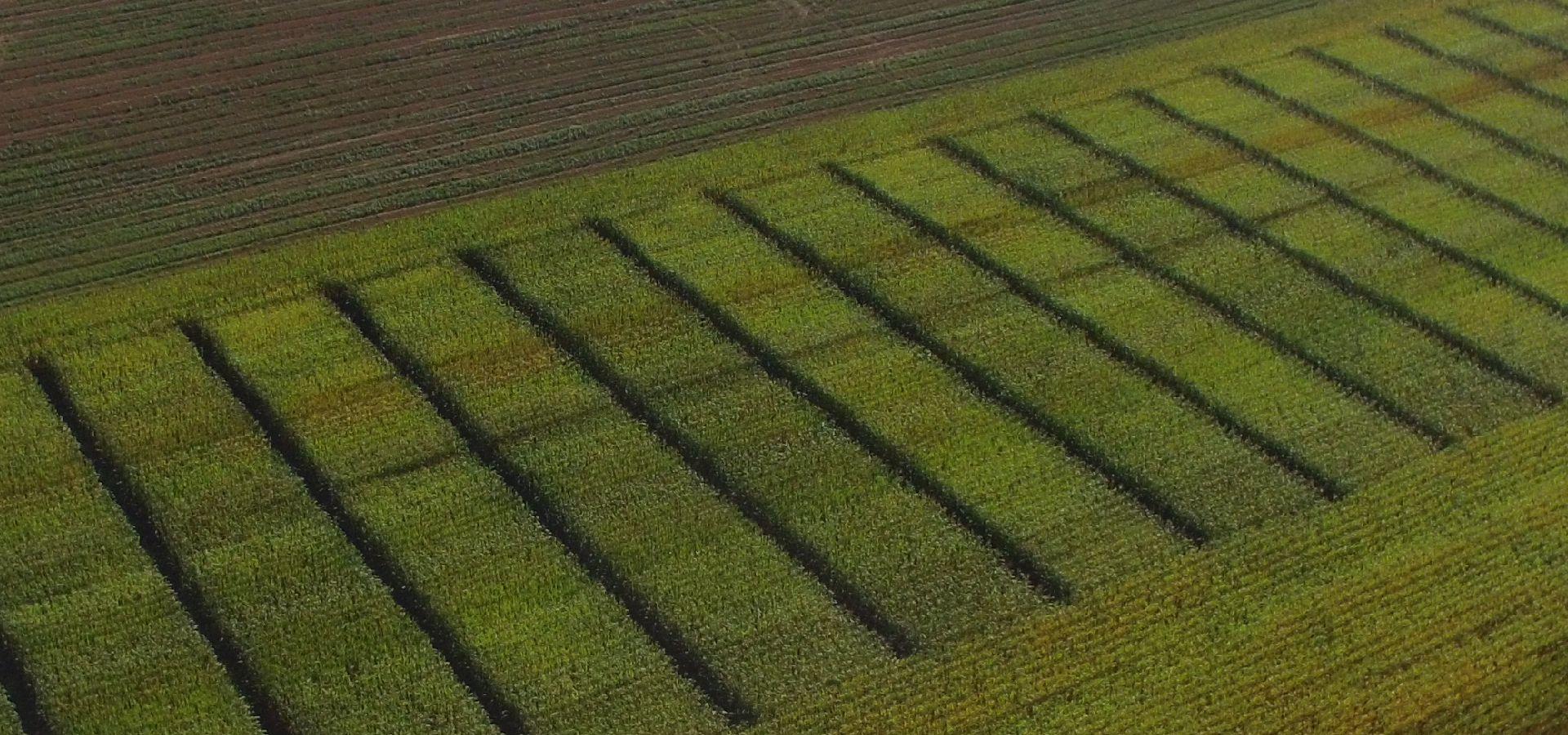 A kukorica tőszámszabályzásáról