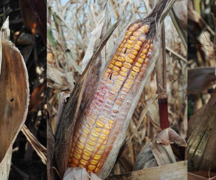 A korai aratás előnye a kukorica fuzáriumos csőpenész betegség megelőzésében