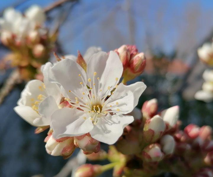 Csonthéjas gyümölcsfák növényvédelme virágzás idején