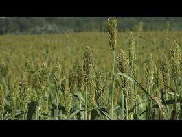 Új lehetőségek a cirok felhasználásában - Új Mezőgazdasági Magazin