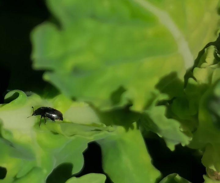 Repce fénybogár (Meligethes aneus) a repce virágzatának legnagyobb ellensége