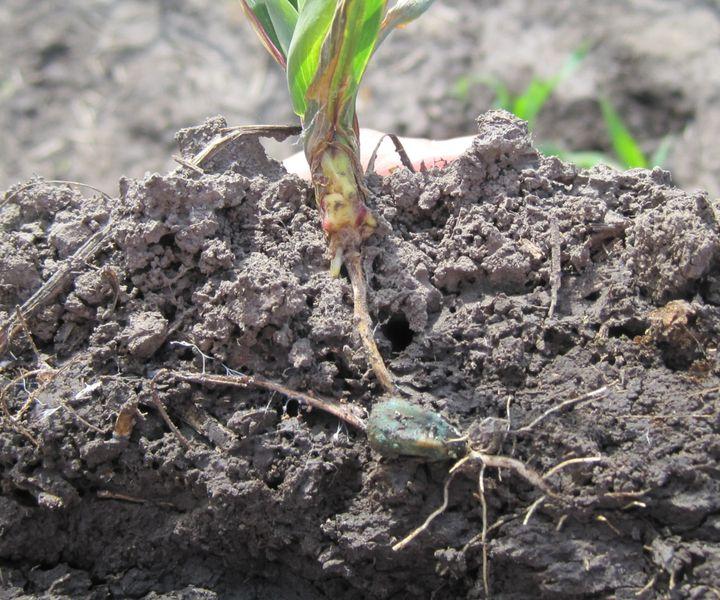 A kukorica csírakori betegségei