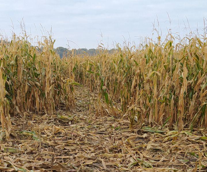 Ma egy cső kukorica 15 Ft-ot ér…